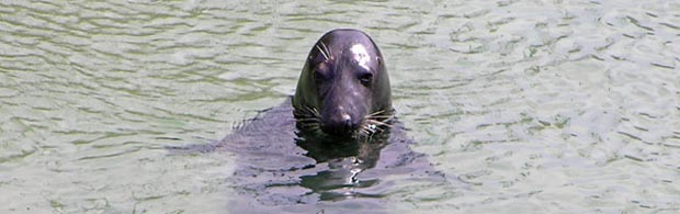 Seal near Newquay Harbour beach