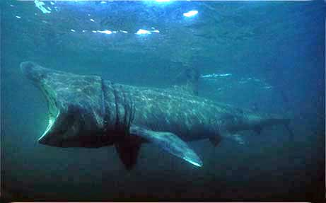 Atlantic Diver - basking shark trips