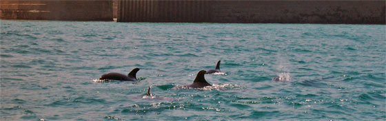 Dolphins around Newquay Harbour