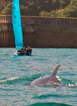 Dolphin at Newquay Harbour