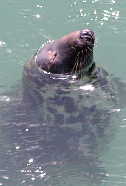 Cornish Grey Seal in Newquay